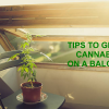 Tips to grow great cannabis on a terrace