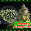 Cannabis Trichomes