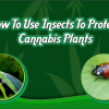 cannabis-insects